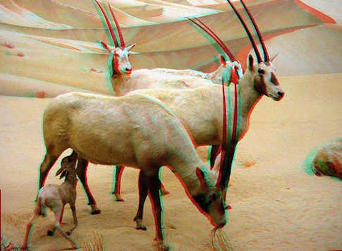 485px-Oryx_family.jpg